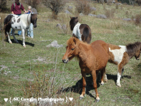 Wild Ponies we saw while Riding at Mt. Rogers