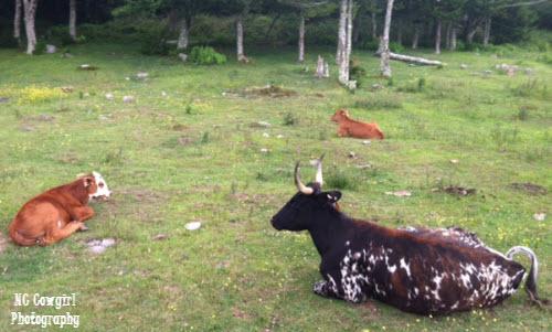 texas-longhorn-cows