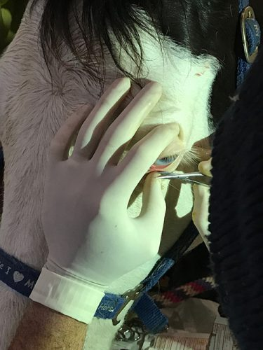 squamous cell carcinoma tumor on horse eyelid